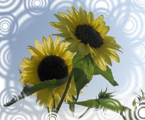 Sonnenblumen - Sonnenblumen, Blume, Blüte, Biene, Blumengruß, Geburtstag, email, Gruß, Effektbild, Grußkarte