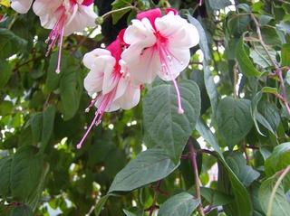 Fuchsie - Fuchsie, Blüte, Nachtkerzengewächs, Zierpflanze