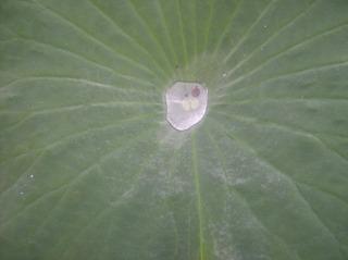 Lotosblatt #1 - Lotosblatt, Lotoseffekt, Wasser, Wassertropfen, Benetzbarkeit, abperlen, benetzen, Adhäsion, Kohäsion