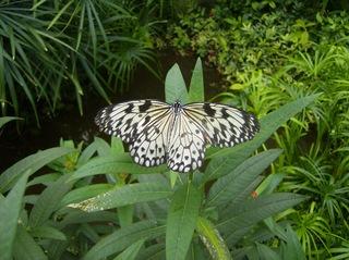 Weiße Baumnymphe - Weiße Baumnymphe, Idea, Tagfalter, Edelfalter, Flügeladern, symmetrisch, Symmetrie, Schmetterling