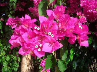 Bougainvillea - Bougainvillea, Wunderblumengewächse, Strauch, Hochblatt, Blüte, pink
