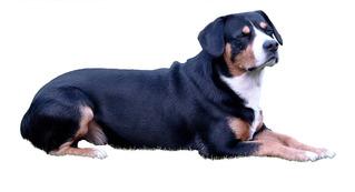 Entlebucher Sennenhund #1 - Entlebucher Sennenhund, Schweizer Sennenhund, Treibhund, Hütehund, Wachhund, Hund, Hunde, Kurzhaar, Haustier, schwarz, weiß, braun, liegen