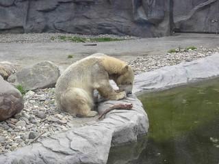 Kleiner Eisbär - großer Appetit! - Eisbär, Säugetier, Raubtier, Nahrung, Fleisch, Zoo, fressen, Futter