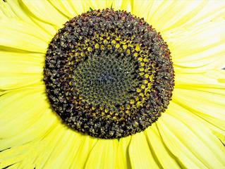 innerer Teil einer Sonnenblumenblüte - Sonnenblume, Sonnenblumen, Korbblütler, Sonnenblumenkerne, Blütenstand, rund, braun, schwarz, gelb, Röhrenblüten, Kerne, Blume, Blüte, Zierpflanze, Fibonacci-Zahl