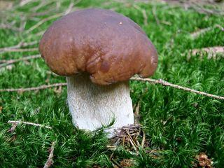 Steinpilz - Steinpilz, Pilz, Speisepilz, essbar, Hutpilz, Röhrling, Dickröhrling, sammeln, suchen, Wald, Anlaut P