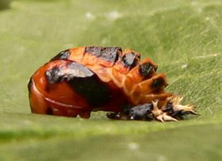 Marienkäferpuppe - Marienkäferpuppe, Puppe, Marienkäfer, Insekt, Entwicklung, Verpuppung