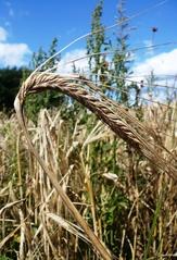 Gerste - Gerste, Getreide, Feld, Korn, Wintergerste, zweizeilig, Grannen, Süßgras, Hordeum vulgare distichon