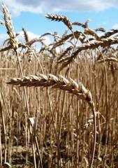 Weizen - Getreidefeld, Weizen, Korn, Getreide, Ähre, Süßgras, Grundnahrungsmittel, Brotgetreide, Bedecktsamer, einkeimblättrig