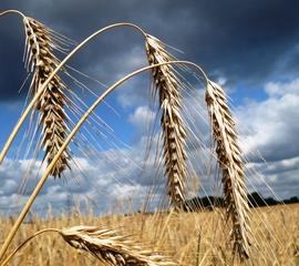 Roggen - Secale cereale, Roggen, Getreideart, Sommergetreide, Wintergetreide, Granne, Korn, Ähre, Süßgras, Brotgetreide, Alkoholherstellung