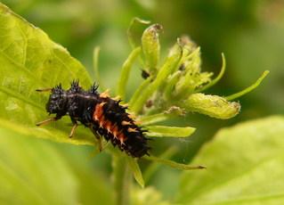 Marienkäferlarve - Marienkäfer, Larve, Insekt, Entwicklung, Futter, Blattlaus, Blattläuse