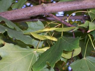 Ahornsamen am Baum - Spitzahorn, Ahorn, Baum, Laubbaum, Laubbäume, Herbst, Acer platanoides, Rispen, Windausbringung