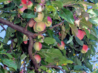 Äpfel am Baum - Apfel, Äpfel, Apfelbaum, Kernobstgewächs, Rosengewächs, Obst, Frucht, grün, rot, Blätter, Früchte, Blätter