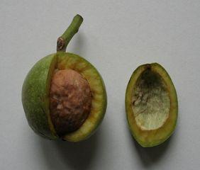 Walnuss - Walnuss, Nuss, Natur, heimische Pflanzen, Nahrungsmittel, Baum, Laubbaum, Frucht, Nussbaum, Umhüllung