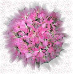 Hortensie - Hortensie, Sommer, Blume, Blüte, Geburtstag, email, Gruß, Effektbild, Grußkarte