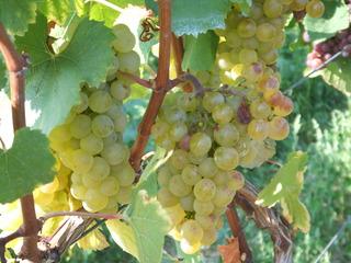 Weiße Weintrauben - Wein, Traube, Wein, Weinlese, Landwirtschaft, Weinbau, Trauben, Weintrauben, Herbst