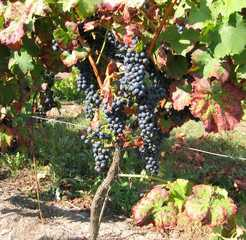 Weinstock - Wein, Traube, blau, Wein, Weinlese, Weinrebe, Reben, Landwirtschaft, Weinbau, Trauben, Weintrauben, Herbst, Weinstock