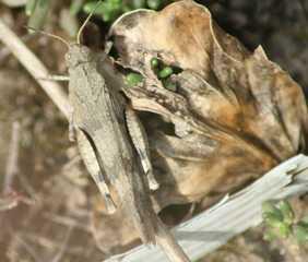 Heuschrecke #1 - Insekten, Heuschrecke, Mimikry, Tarnung, Tarnfarbe, Grashüpfer, hüpfen, Blauflügelige Ödlandschrecke, Oedipoda caerulescens