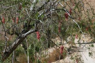 Pfefferbaum - Anden, Vegetation, Nutzpflanze