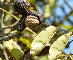 Walnuss - Walnuss, Nuss, Baum, reif, braun, grün, Herbst, Frucht, Ölfrucht