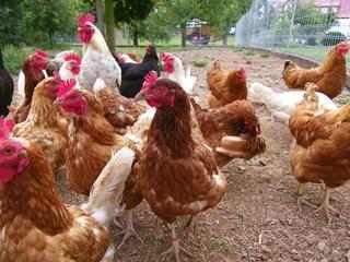 Hühner - Huhn, Hühner, Hahn, frei laufende Hühner, Bauernhof, Biologie, Ernährung, Ei, Hühnerei