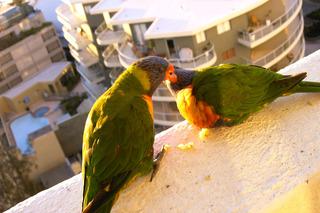 kuessende Rainbow Lorikeets - Rainbow Lorikeets, verliebt, Sydney, Balz, balzen