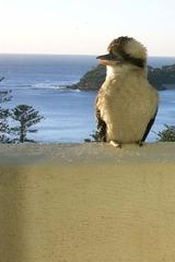 Kookaburra auf dem Balkon - Vogel, Kookaburra, Lachender Hans, Australien