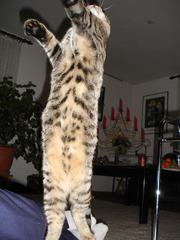 Katze - Katze, Bewegung, Sprung