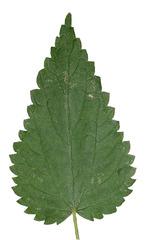 Brennnesselblatt - Brennnessel, Blatt, Blätter, grün, herzförmig, spitz, gezackt, gezähnt, Pflanze, Nesselgift, Nesselpflanze, Zeigerpflanze, Heilpflanze, Tee, Färbepflanze