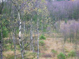 Birkenwald - Wald, Baum, Bäume, Birke, Birken, Laubwald, blattlos, Herbst