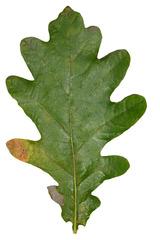Eichblatt - Eiche, Eichblatt, Laub, Blatt, grün, gelappt, Baum, Gehölz, Natur, Herbst, Laubfärbung