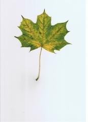 Ahornblatt #1 - Ahorn, Spitzahorn, Herbst, Laub, Laubblatt, Blatt, Laubfärbung, gelb, grün