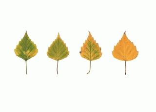 Birkenblätter - Birke, Herbst, Laub, Laubblatt, Blatt, Blätter Laubfärbung, grün, gelb, vier