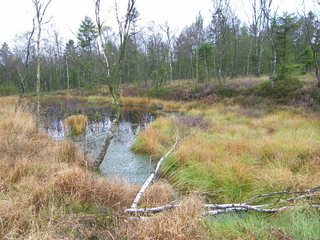 Moor #1 - Moor, Landschaft, Landschaftsform, Hochmoor, Feuchtgebiet, Solling, Wasser, Sumpf, Birken, Naturschutzgebiet