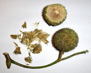 Früchte einer Platane - Platane, Frucht, Früchte, Baum, Laubbaum, Gehölz, Natur, einsamig, Nuss, Nüsse, Stiel, zwei