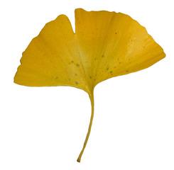 Blatt eines Ginkgo - Ginkgo, Ginko, Silberpflaume, Fächerblattbaum, Fächerbaum, Blatt Herbst, Färbung, Laub, Baum, Gehölz, Natur, gelb, Fächer