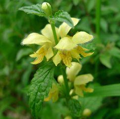 Goldnessel #2 - Lamium galeobdolon, Lippenblütler, Lippenblütengewächs, Gold-Taubnessel