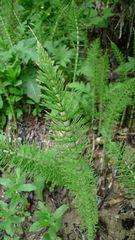 Schachtelhalm - Schachtelhalm, Equisetum, Heilpflanze, Gefäßsporenpflanzen, Pteridophyta, Zinnkraut, Kieselsäure