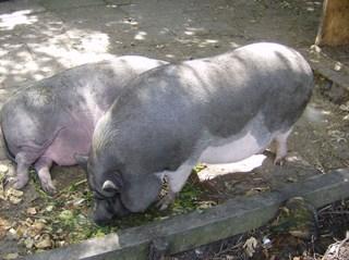 Hängebauchschweine #2 - Schwein, Schlaf, Sonne, Mittag, Ruhe, Haustier, dick, Hängebauchschwein, Borsten, dunkel, faul, schlafen, Suhle, zwei, Gehege