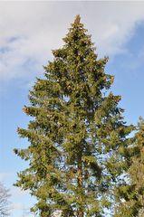 Fichte - Fichte, Gemeine Fichte, Kieferngewächs, Nadelbaum, immergrün, Zapfen, länglich, Nadeln