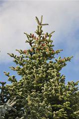 Tanne - Tanne, Nadelbaum, Nadeln, abgerundet, kurz, stumpf, Zweig, Baum, Trieb, Austrieb