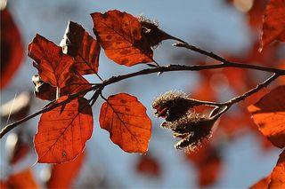 Buche - Buche, Herbst, Buchecker, Rotbuche, zweikeimblättrig, Buchengewächs, dreikantig, Fruchtbecher, stachelig, Hülle, Fruchthülle, Ölfrucht