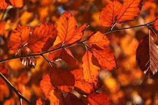 Buche - Buche, Herbst, Buchecker, Rotbuche, zweikeimblättrig, Buchengewächs, bunt, rot, orange
