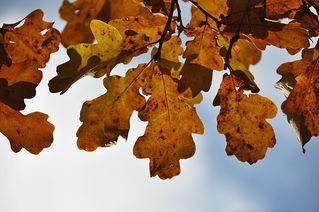 Eichenlaub - Eiche, Laubbaum, Baum, Herbst, Eichel, Blatt, Blätter, gebuchtet, Blattrand, gelb