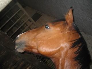 Pferdekopf - Pferd, Pferdekopf