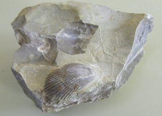 Muschelkalk - Muschelkalk, Muschel, Miesmuschel, Kalk, Versteinerung, Fossil, Geologie