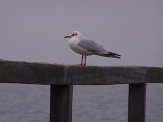 Möwe - Tiere, Vogel, Möwe, Meer
