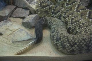 Klapperschlangenschwanz - Klapperschlange, Schlange, giftig, Schuppen, Schwanz, Haut, Hautoberfläche, Muster, schlängeln, Reptil