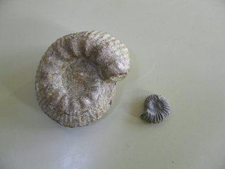 Ammonit - Ammonit, Versteinerung, Fossil, Fossilien, abgestorben, Organismus, Fossilisationslehre, Evolution, Erdgeschichte, Erdmittelzeit, Paläontologie
