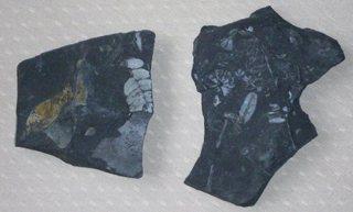 Schiefer - Fossilien, Fossil, Blätter, Schiefer, Versteinerung
