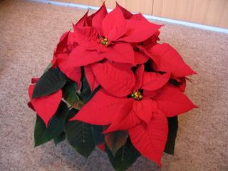 Weihnachtsstern #1 - Weihnachtsstern, Adventsstern, Christstern, Poinsettie, Wolfsmilchgewächs, Hochblätter